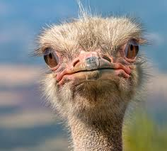 an #ostrich&#39;s eye is bigger than its brain #FunFact  #ecology #environment<br>http://pic.twitter.com/k5zHZyRYPQ