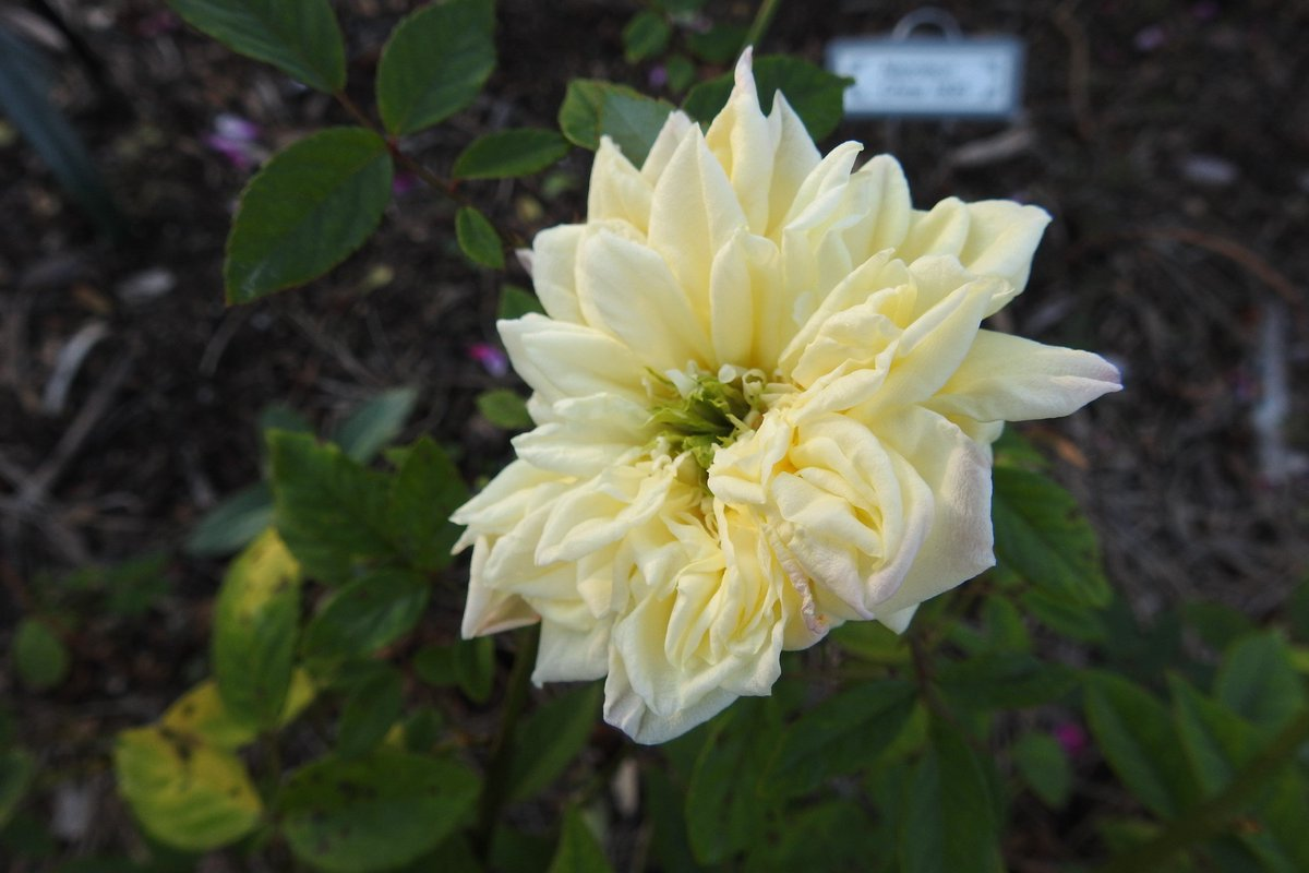Blumenshmidt - 1906, Schmidt- A tea rose with delicate yellow petals and a green eye . A charmer in the garden! #roses #Gardening <br>http://pic.twitter.com/hr24aWct2t