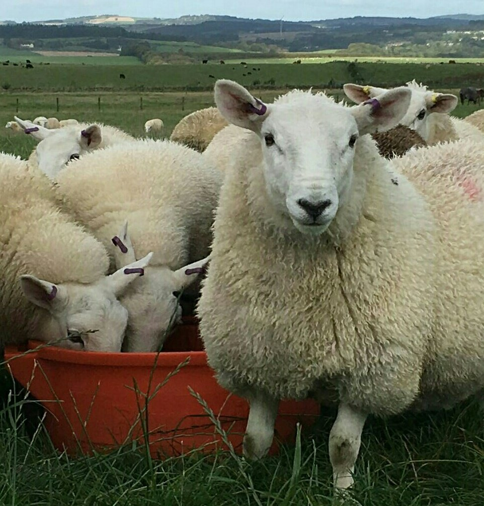 Really looking forward to @RachelLumley (actually in person!) #SBRT17 #lovelamb presentation #sheep365 #teamsheep<br>http://pic.twitter.com/03H3EpJRx6