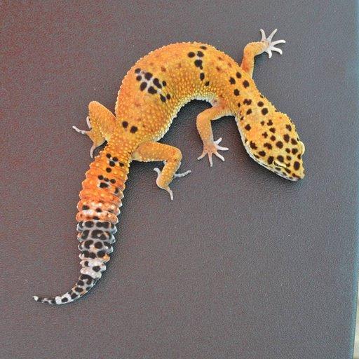 Blood Tangerine Cross Female Leopard Gecko by Sam&#39;s Geckos, $200 #geckos #reptiles #herps #pets #herp #reptile #pet  https://www. morphmarket.com/us/c/reptiles/ lizards/leopard-geckos/77152?utm_source=twitter&amp;utm_medium=post&amp;utm_content=77152&amp;utm_campaign=twitter-featured-ad &nbsp; … <br>http://pic.twitter.com/W2NPW7OJgI