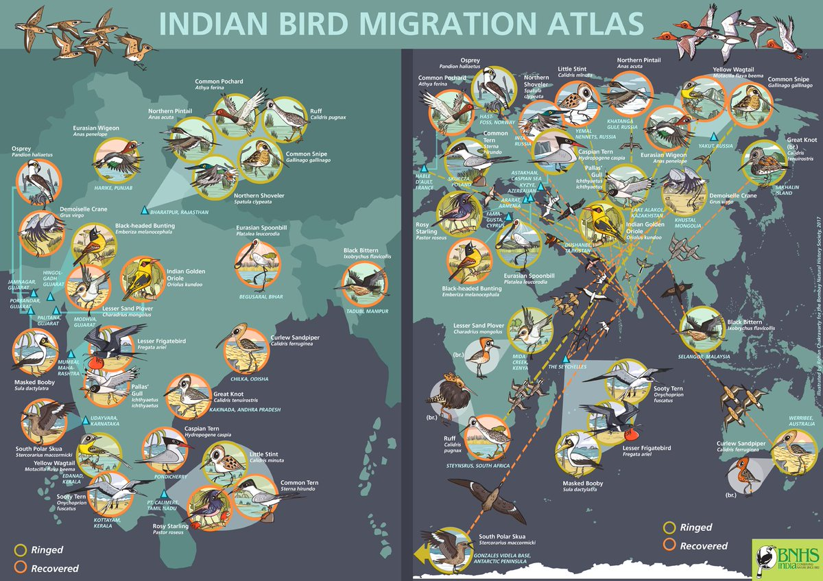 Indian Bird #Migration Atlas - #poster on #bird migration illustrated for BNHS. More on  http://www. greenhumour.com/2017/11/bnhs-b ird-migration-atlas.html &nbsp; …  I learned to appreciate the wonders of bird migration drawing these maps! Thanks, BNHS!<br>http://pic.twitter.com/a0GADi07x7