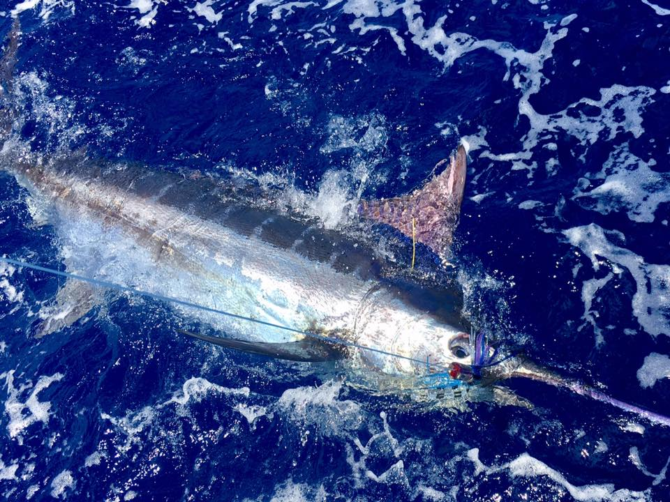 Gold Coast, Aus - Mistress has released 8 Blue Marlin over 2-Days, 19 over 6-Days.