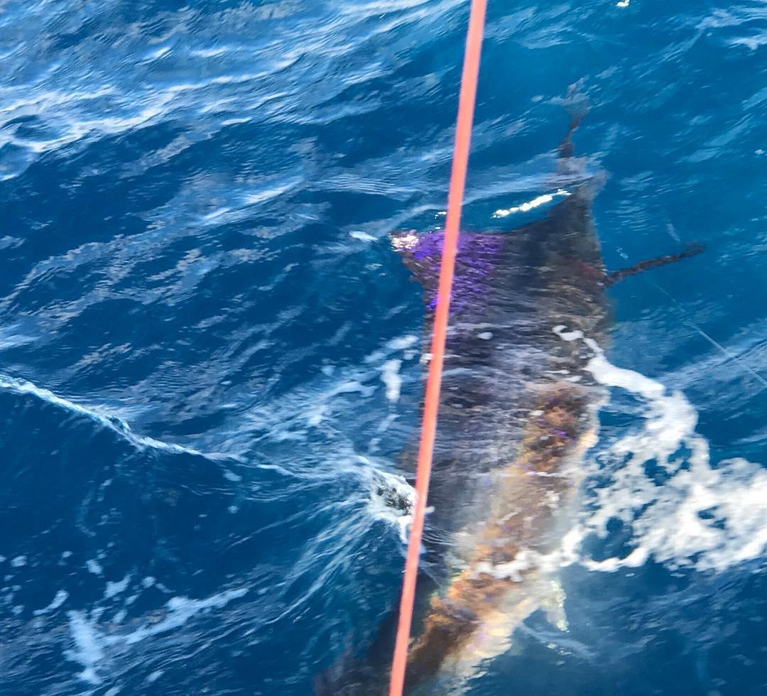 Islamorada, FL - Early Bird released a Sailfish.