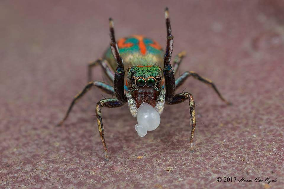Siler semiglaucus - Photo by Husni Che Ngah. S.semiglaucus is known to selectively associate with and prey upon ants. It often attacks these ants from the rear, biting and then retreating before a subsequent approach. #Educate #TurnFear2Fascination #Lovespiders<br>http://pic.twitter.com/zl9KiAtpg3