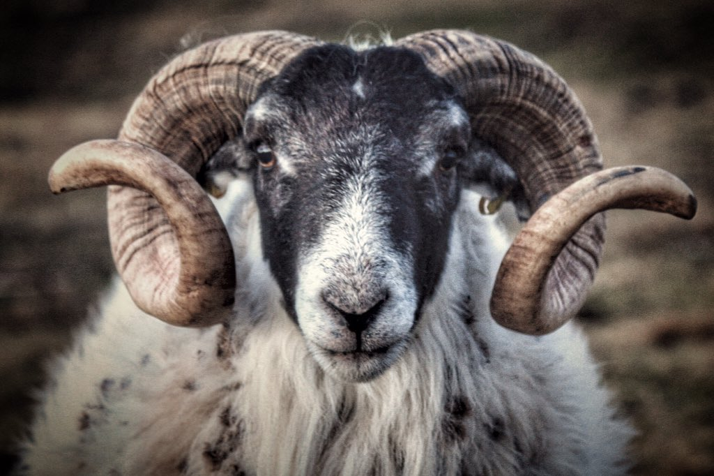 Mister Handsome...  @NFUCountryside @TrueHighlands  @ScottishField @BBCCountryfile @welcomescotland @VisitScotland #ram #sheep365 <br>http://pic.twitter.com/jdt9Wr2nKM