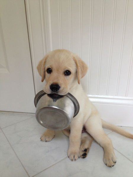 Excuse me, did someone say lunch? #LabradorRetriever #Puppy #Lunch #DogsofTwitter #DogMom #DogDad #Dogs #Dog #DogLover <br>http://pic.twitter.com/BmSEju7YTd