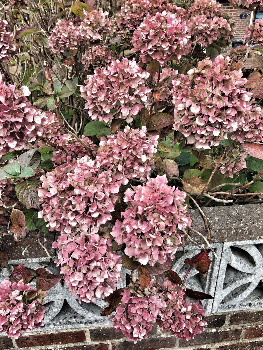 Hydrangea still looking fabulous while fading away #gardenchat #garden #flowers #fading<br>http://pic.twitter.com/9GdsRIb531