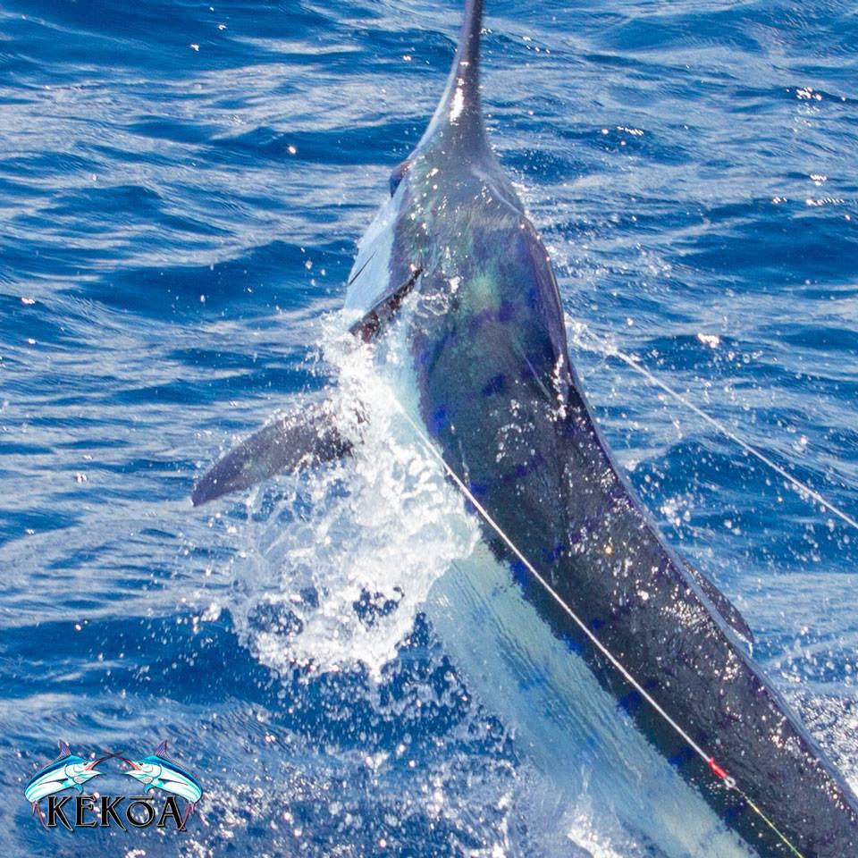 Fraser Island, Aus - Blue Marlin on the Kekoa.