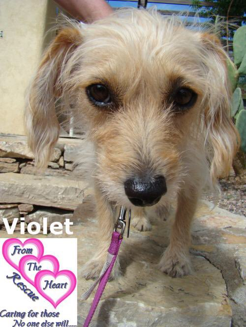 Violet is a quiet 3-1/2 year old @FromTheHeartDog terrier mix. She overcame all kinds of calamities and still favors one leg but is a loving companion in search of a forever home. PLEASE RT and meet her at https://t.co/ynPaTVgTYv