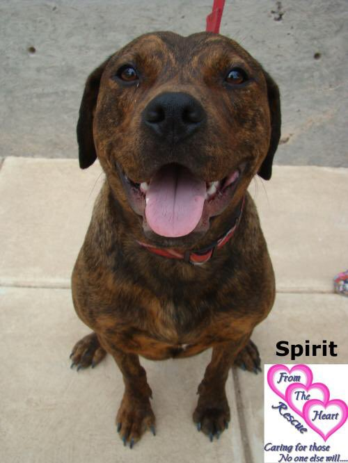 Not quite 3, Spirit is a @FromTheHeartDog pibble Mix who literally was found starving on the streets. A little love turner her into the happiest playmate and all she needs is a forever home. PLEASE RT and meet her at https://t.co/yr3Zr87Xei