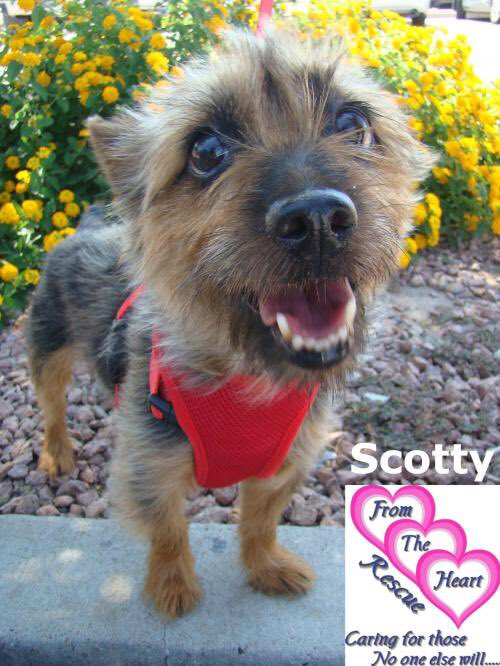 Look at this face! Despite his name, Scotty is a 10-year old Yorkie Mix who's healthy, behaved and great with everybody except small kids. PLEASE RT and meet him at https://t.co/7inLQ7H4ly