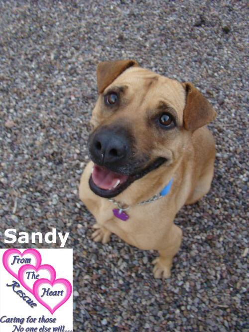 At 4, Sandy has survived heartworm and obesity and he loves life and everybody, man or dog, in it. This @FromTheHeartDog Shep mix is waiting for a forever home. PLEASE RT and meet him: https://t.co/XPGFBLzS0i