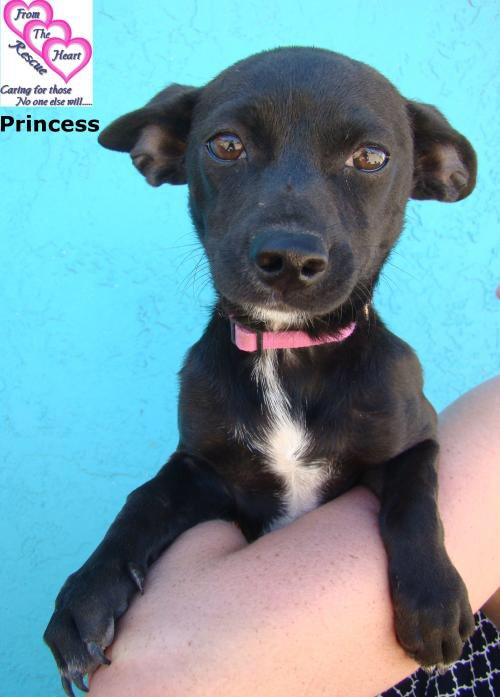 Princess was born @FromTheHeartDog and is now a lively 6-month old Chihuahua/Dachshund mix who loves everybody and can't wait to grow up in a loving home. PLEASE RT and meet her at https://t.co/k3fINdTcaU