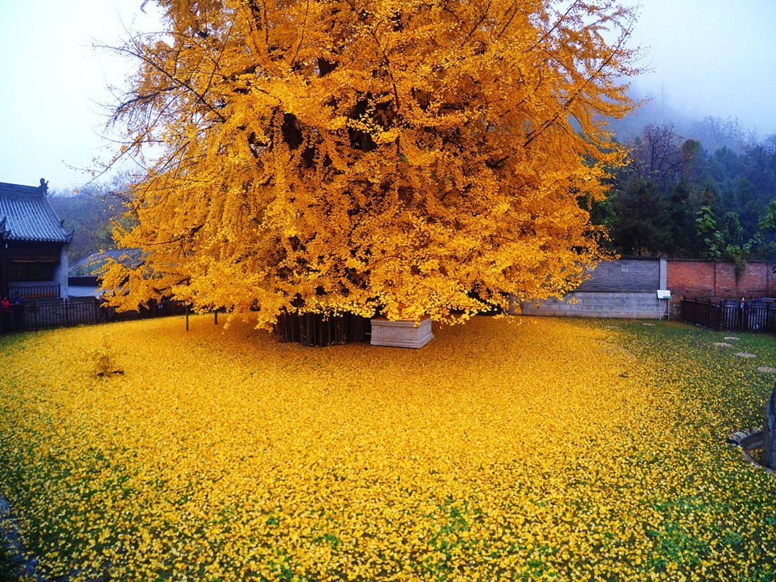 1,400-year-old Ginkgo temple tree is pure Internet gold in Xi&#39;an #ginkgo #trees #Xian  https:// buff.ly/2mFxQPu  &nbsp;  <br>http://pic.twitter.com/4Erq0sy2WY