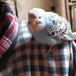 !緊急!今、父が雪かきしていたらとても人懐こいブルーのセキセイインコが肩にとまりました!場所は函館亀…