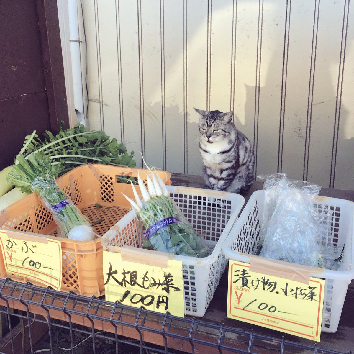 自転車漕いでたら野菜の有猫販売があった(店員さんイチオシらしい大根のもみ菜を買いました)