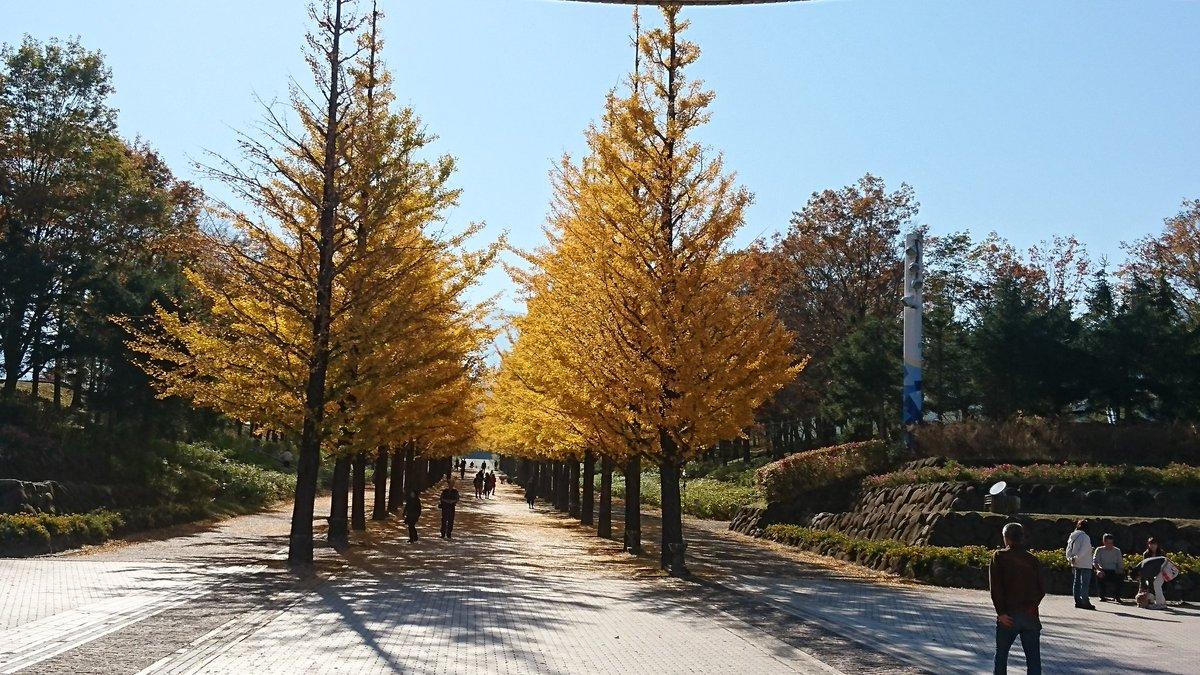 イチョウ並木です。 さらに色づいていて 葉が落ちてました。 #近いよ福島