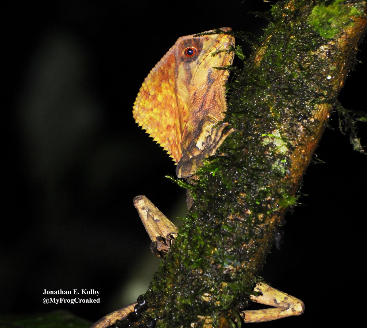 So much more than just frogs in the #HARCC cloud forest! Like lizards with mohawks! (Corytophanes cristatus) #TuesdayThoughts #TravelTuesday<br>http://pic.twitter.com/C2F8E3e9s5