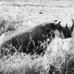 "The Western black rhino is well worth 280 characters. This rare photo of a live one was taken in 1961 by J. Arnaud in Cameroon (image open source) The subspecies was declared #extinct in 2011 after searches failed. Poaching for horn as ""medicine"" & for trinkets killed them all."