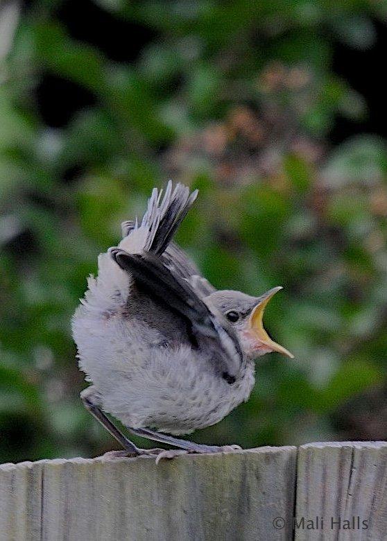 #Northern #Mockingbird #juveniles...Attitude or what? LOL. <br>http://pic.twitter.com/NuSlhIzrXU
