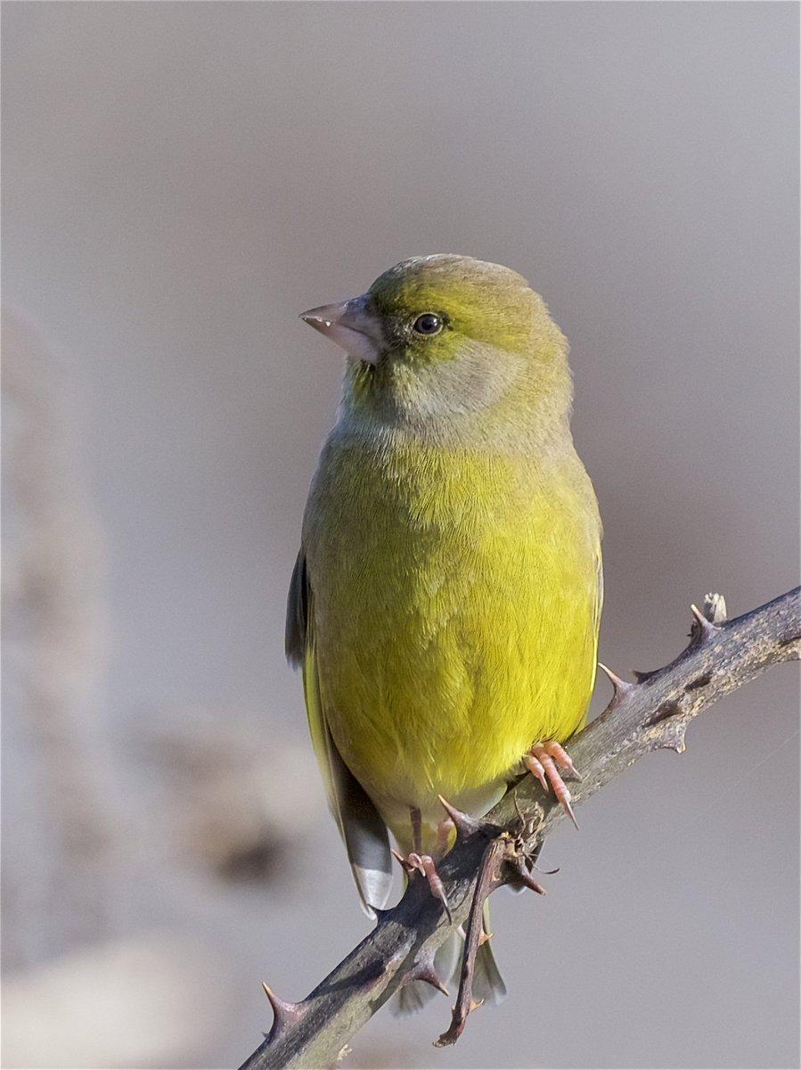 manx birdlife manxbirdlife twitter