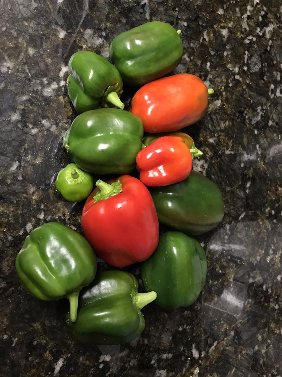 Last of the year's peppers #WellfieWednesday #PTgarden #RDNgarden https://t.co/ZIMpruxnXn