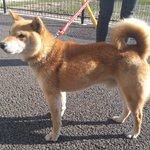 《環境政策課からのお知らせ》8日夕方、岡田町で迷い犬を保護しました。赤い首輪をし、柴犬と思われます。…