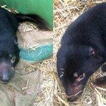 タスマニアデビルが多摩動物公園にやってきました! オス2頭。写真左が「テイマー」、右が「ダーウェント…