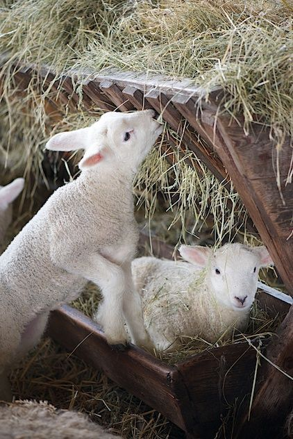Tip: Provide clean fresh straw in racks initially to provide sharp fibre to encourage rumen development. #Lambing17 #Farm365<br>http://pic.twitter.com/PsQ8N2A6s2