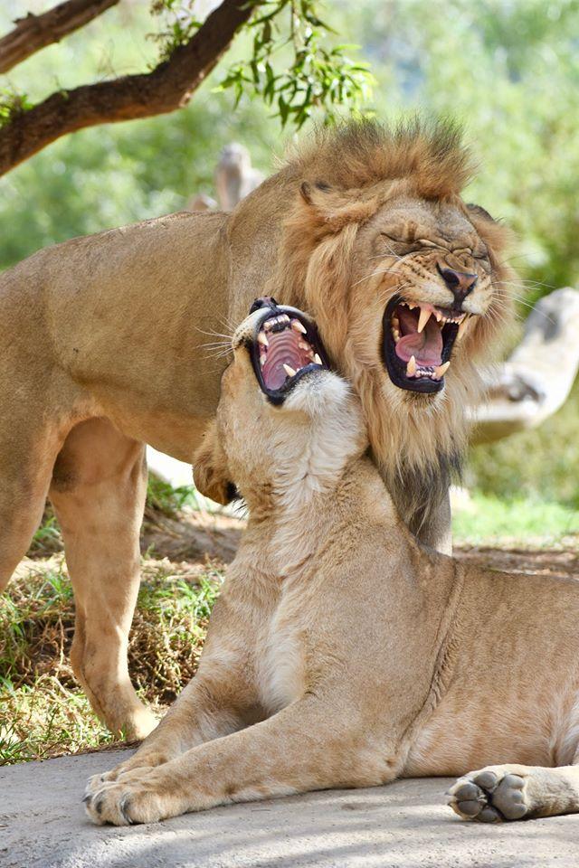 San Diego Zoo Safari Park On Twitter When The Lion King Soundtrack