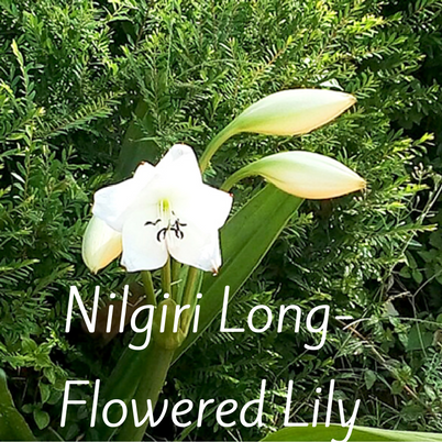 Biodiversity garden on twitter dreaming of the nilgiris the the beautiful cream white bell shaped buds of the nilgiri long flowered lily a notoriously difficult species to grow in a garden blooms abundantly at the mightylinksfo