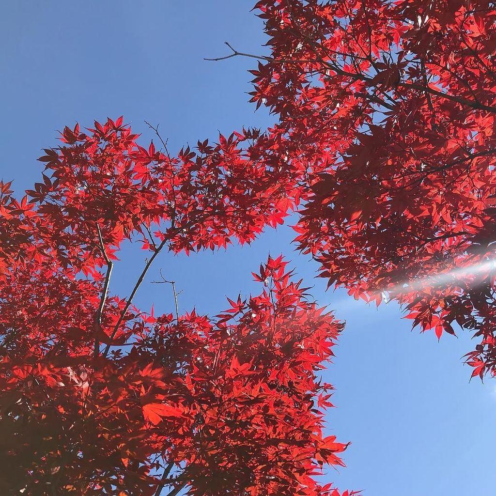 秋も深まり、市街地の紅葉がいい感じ。駅前の紅葉。秋晴れとともに最高のお天気。 #紅葉 #もみじ #momiji #近いよ米沢 #red https://t.co/KkBSYMEP9p