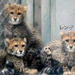 多摩動物公園のチーター4つ子、2017年11月13日㊊から公開します!(11:30〜14:00)母親…