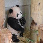 シャンシャンは室内展示場内をよく歩くようになっています。まだ食べることはできませんが、竹をくわえる様…