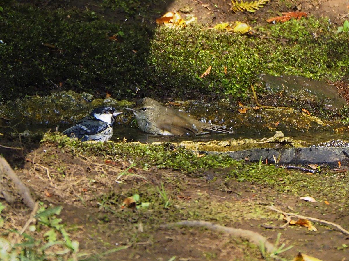午後から光が丘公園ヘ。シロハラ、シメを今季初認。 シジュウカラと混浴中はウグイスかな?それと仲よしメジロ。 #光が丘公園 #シロハラ #シメ #シジュウカラ #メジロ