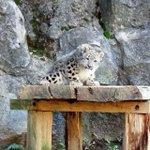 ユキヒョウのオス「フク」、放飼場デビュー!東京ズーネット・多摩動物公園最新記事☞tokyo-zoo.…