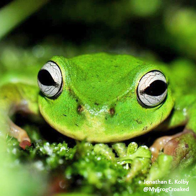 Happy #FrogFriday! This endangered Exquisite Spike-thumb Frog (Plectrohyla exquisita) is one of 3 #HARCC species we&#39;re working to protect from extinction in #Honduras with @HondurasARCC @OmahaZoo  http://www. frogrescue.com  &nbsp;   <br>http://pic.twitter.com/YOkd7jNFYM
