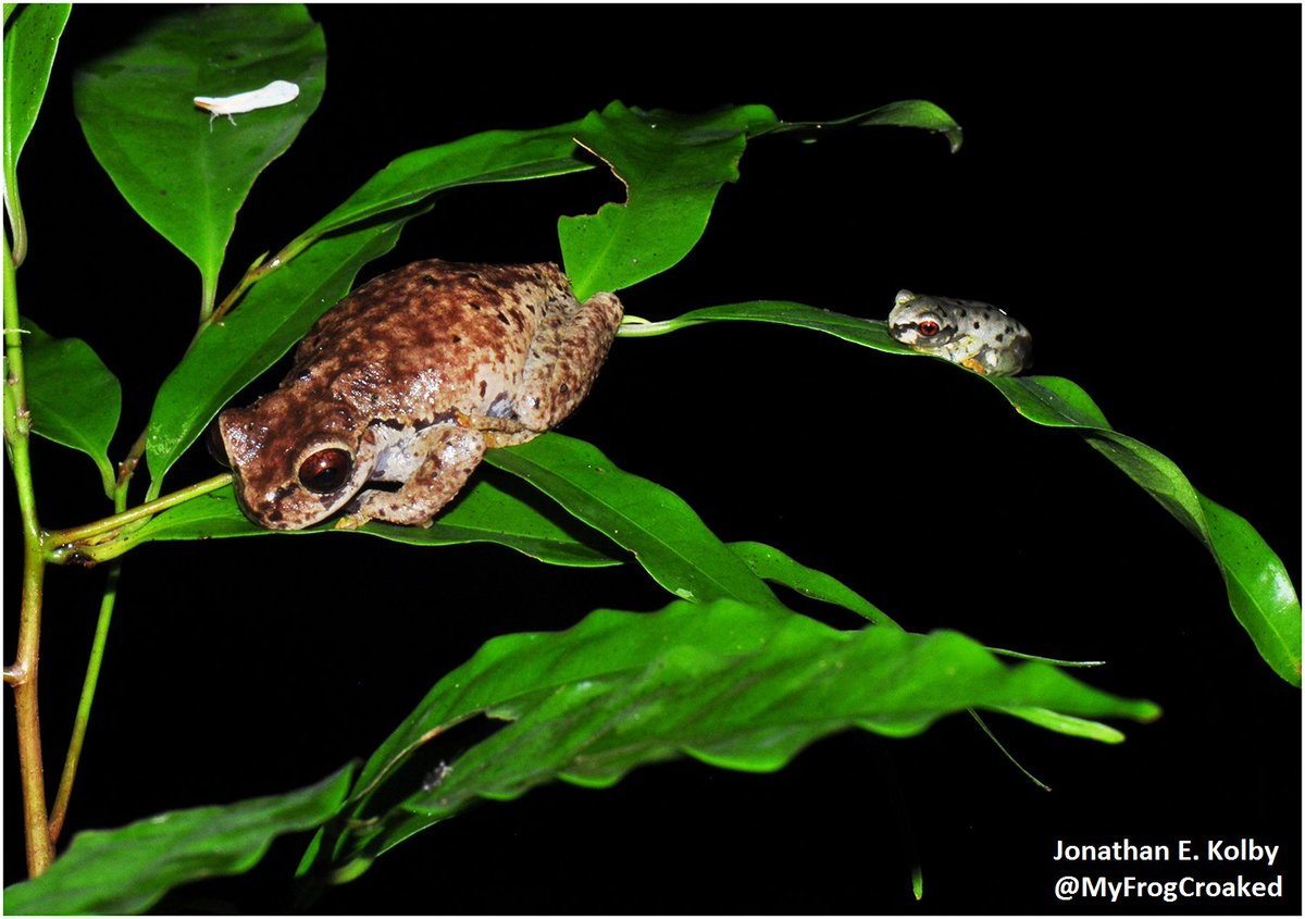 If you were the big frog, would you be scared of the tiny #frog? @MyFrogCroaked would be terrified! Here&#39;s why: Terrestrial Spread of Amphibian #Chytrid fungus at:  http:// dx.plos.org/10.1371/journa l.pone.0125386 &nbsp; …  #FunFactFriday #PLOSONE #WorldScienceDay #HARCC @PLOSONE<br>http://pic.twitter.com/vgECypONVz