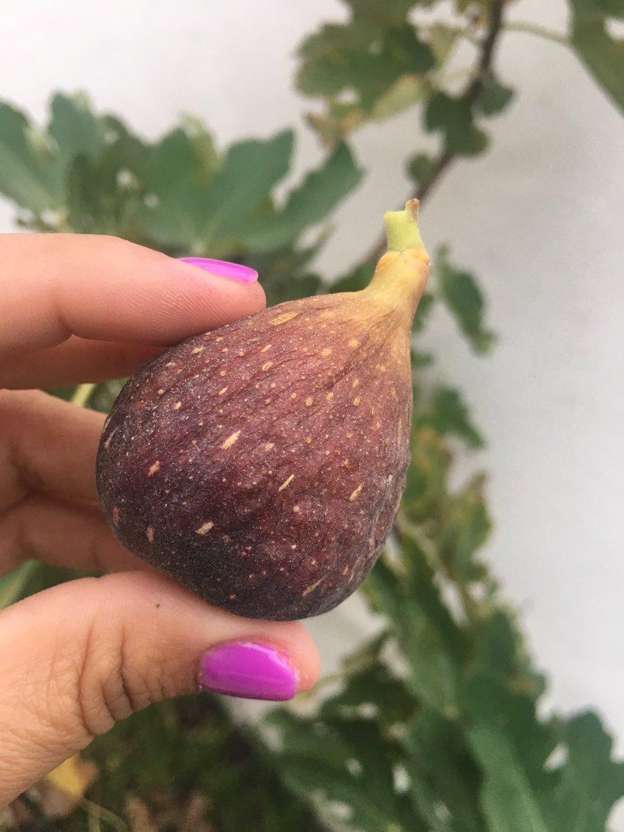 RT @LarizaMontiel: Llegó el momento!!! Primer cosecha de mi Higuera... toda una historia 😍🤗😃 https://t.co/a9b1FjLfmi