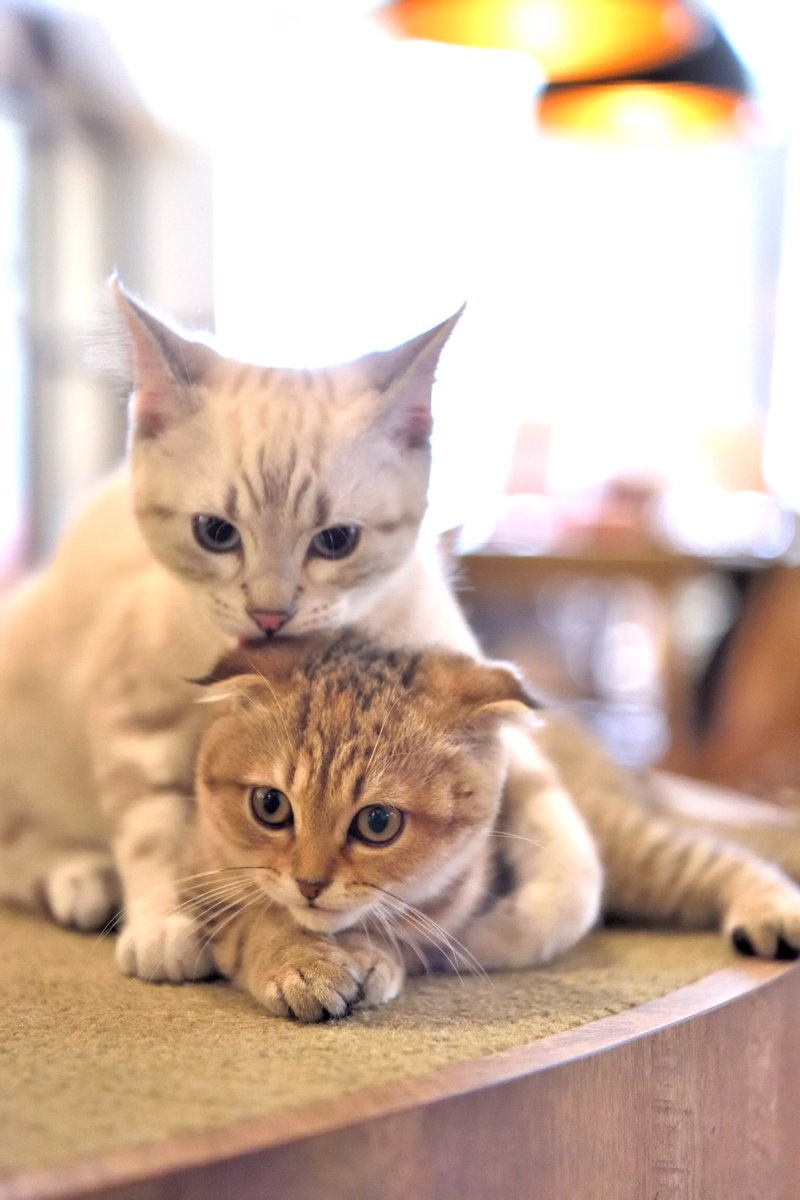 いつも喧嘩ばかりだけど、本当は仲良しなんだにゃ😽💓  #パズー #アメリカンショートヘア #猫 #ネコ