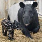 多摩動物公園でマレーバク「ソラ」誕生!子は「うり坊模様」ですが、生後半年くらいでおとなと同じツートー…
