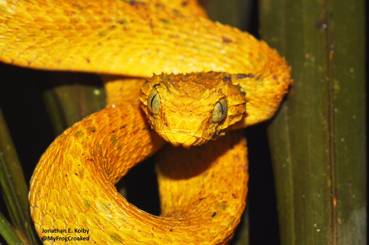 One of my favorite snakes is this Yellow Bush Viper (Atheris squamigera) found in the Democratic Republic of Congo #reptiles #snake #becurious<br>http://pic.twitter.com/hkU8k28n3z