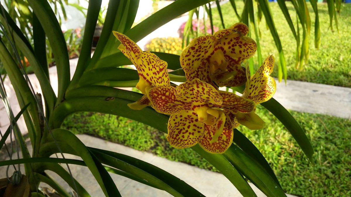 I forgot what color she was! #vanda #orchids <br>http://pic.twitter.com/9wEgclcHsb