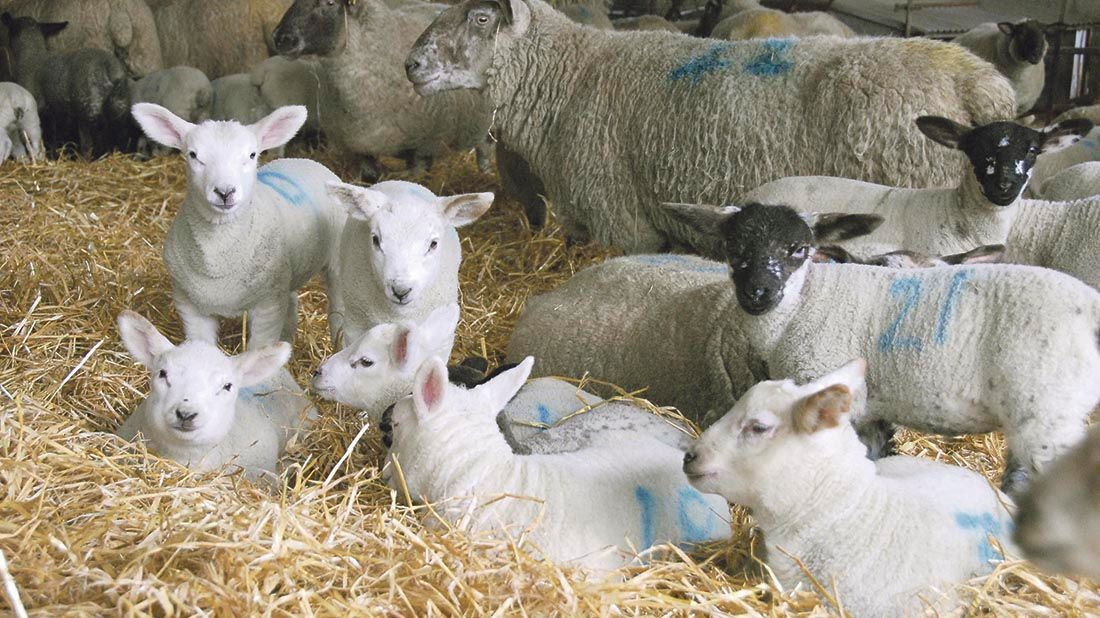Keep lambs inside through the rearing and finishing phases to avoid a growth check associated with diet change #Lambing17 #Farm365<br>http://pic.twitter.com/4E7c207aSi