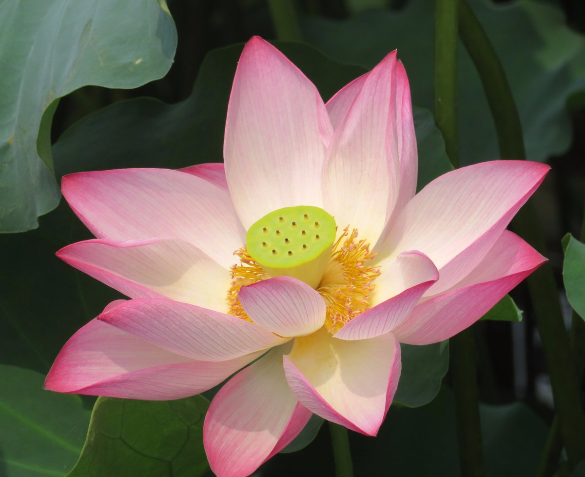 Laszlo Tabar Md On Twitter The Central Portion Of The Lotus Flower