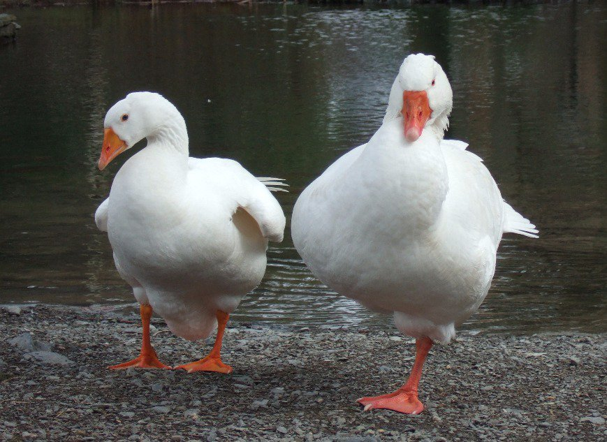 American Pekin Duck - Birds  http:// eyesshare.co.uk/ProjectRetail/ Default/Translator.php?page=Main.html&amp;subpage=/WebRetail/Pages/Shop/CreatorProducts.html&amp;creator=2&amp;product=543&amp;app=eyes &nbsp; …  #definition #shutter <br>http://pic.twitter.com/h0XW7uxuNO
