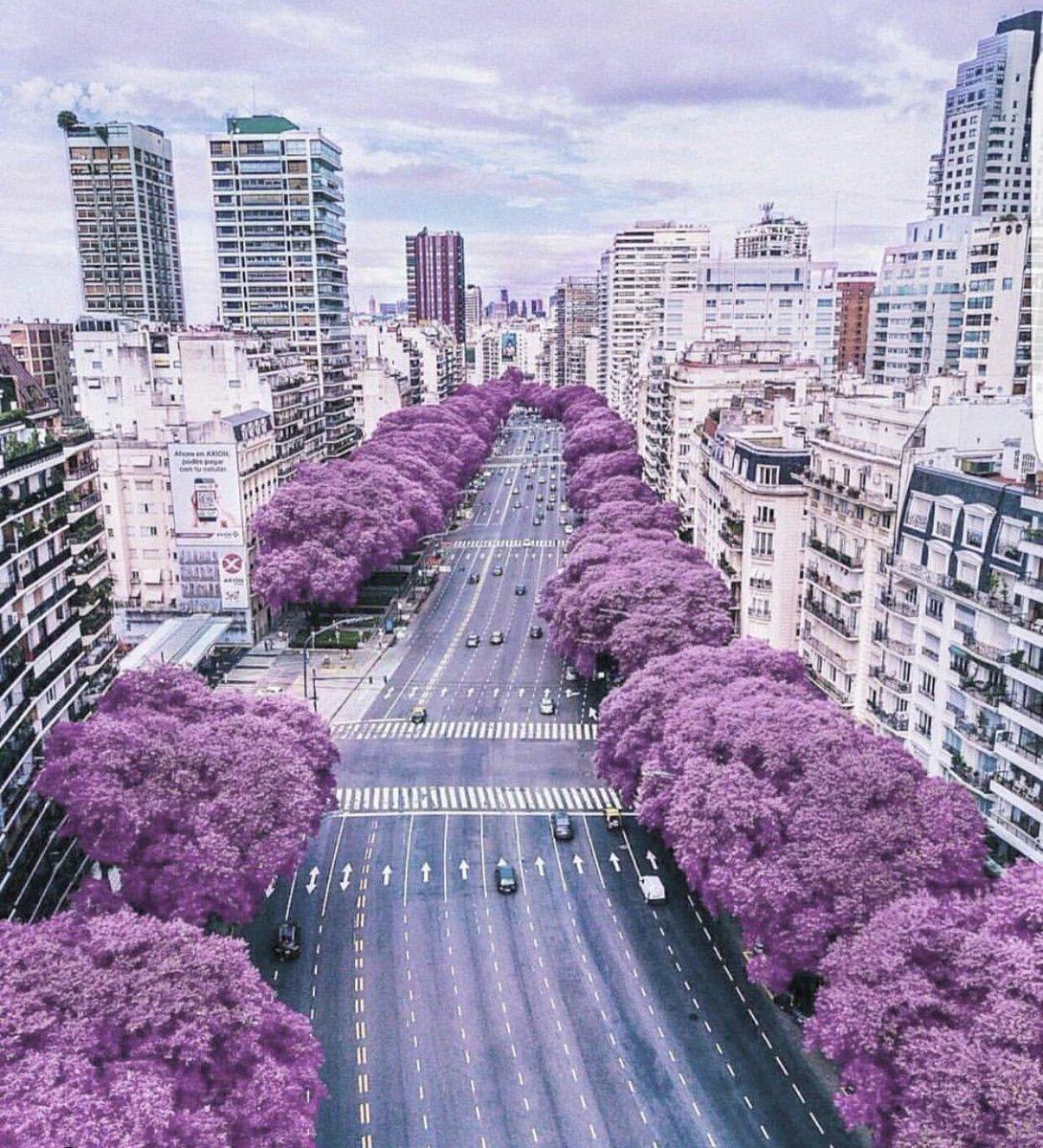 El Jacarandá vuelve a teñir de violeta las calles y hogares del país    Infocampo