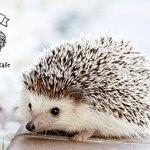 【キュート】ハリネズミと気軽に触れ合える「ちくちくカフェ」が渋谷に誕生news.livedoor.c…