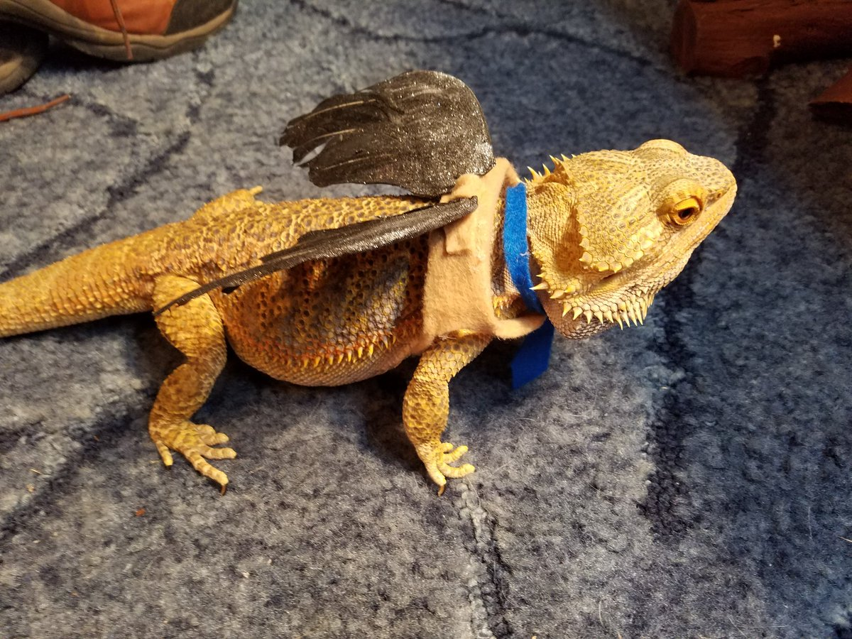 Cute Bearded Dragons (@cutebeardies) | Twitter