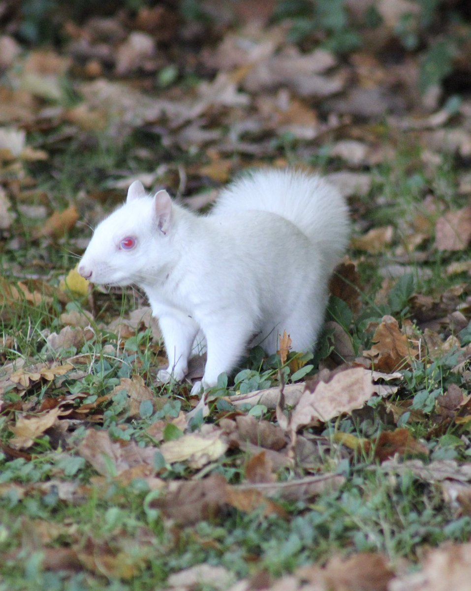 Meaning of white squirrel sighting - 2 Replies 6 Retweets 28 Likes